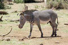 Grevy's zebra (Equus grevyi). The Grévy's zebra is the largest extant wild equid and one of three species of zebra, the other two being the plains zebra and Stock Image
