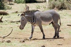 Grevy's zebra (Equus grevyi) Stock Image