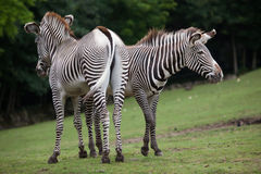 Grevy`s zebra Equus grevyi. Also known as the imperial zebra Royalty Free Stock Image
