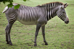 Grevy`s zebra Equus grevyi. Also known as the imperial zebra Stock Photography