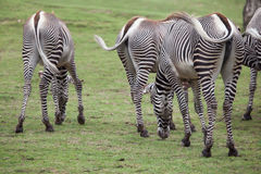 Grevy`s zebra Equus grevyi. Also known as the imperial zebra Stock Image