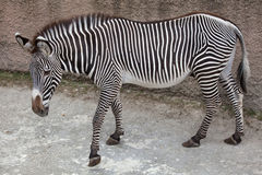 Grevy`s zebra Equus grevyi Stock Photos