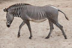 Grevy`s zebra Equus grevyi Royalty Free Stock Images