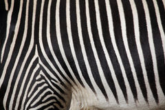 Grevy's zebra (Equus grevyi), also known as the imperial zebra. Royalty Free Stock Photos