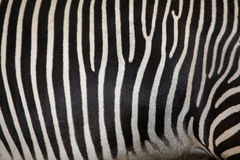 Grevy's zebra (Equus grevyi), also known as the imperial zebra. Stock Photo