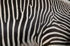 Grevy's zebra (Equus grevyi), also known as the imperial zebra. Royalty Free Stock Photo