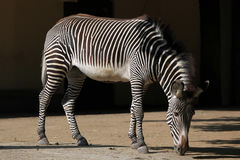 Grevy's zebra (Equus grevyi), also known as the imperial zebra. Stock Photos