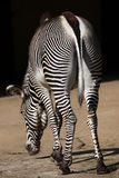 Grevy's zebra (Equus grevyi), also known as the imperial zebra. Stock Image