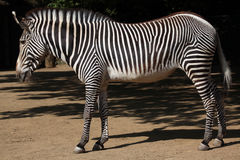 Grevy's zebra (Equus grevyi), also known as the imperial zebra. Wild life animal royalty free stock photography