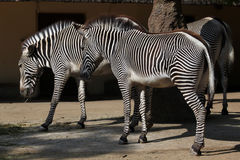 Free Grevy S Zebra (Equus Grevyi), Also Known As The Imperial Zebra. Stock Photos - 56697533