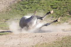 Grevy's zebra, Equus grevyi,gets rid of parasites. One Grevy's zebra, Equus grevyi,gets rid of parasites Stock Photo