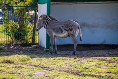Grevy`s zebra Equus grevyi. In paddock Stock Photos