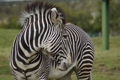 Grevy's Zebra - Equus grevyi Royalty Free Stock Images