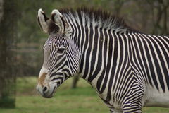 Grevy's Zebra - Equus grevyi. A Large Grevy's Zebra - Equus grevyi royalty free stock photography
