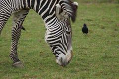 Grevy's Zebra - Equus grevyi Stock Photography