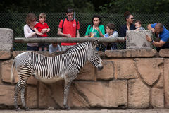 Grevy`s zebra Equus grevyi. LES MATHES, FRANCE - JULY 4, 2016: Visitors looking at the Grevy`s zebra Equus grevyi, also known as the imperial zebra at La Palmyre stock images
