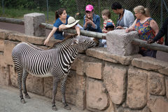 Grevy`s zebra Equus grevyi. LES MATHES, FRANCE - JULY 4, 2016: Visitors looking at the Grevy`s zebra Equus grevyi, also known as the imperial zebra at La Palmyre royalty free stock photos