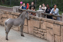 Grevy`s zebra Equus grevyi. LES MATHES, FRANCE - JULY 4, 2016: Visitors looking at the Grevy`s zebra Equus grevyi, also known as the imperial zebra at La Palmyre stock image