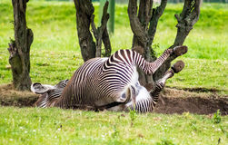 Grevy's Zebra Royalty Free Stock Photos