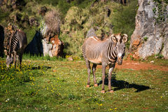 The Grevy s zebra (Equus grevyi), sometimes known as the imperia Stock Photography