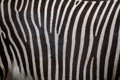 Grevy& x27; s zebra & x28; Equus grevyi& x29; Zdjęcia Royalty Free