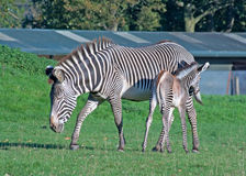 Grevy's zebra with foal Royalty Free Stock Image
