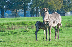 Grevy's zebra with foal. Grevy's zebra (Equus Grevyi) with foal on the pasture Royalty Free Stock Photo
