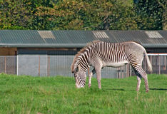 Grevy's zebra grazes. Grevy's zebra (Equus Grevyi) grazes on a meadow Royalty Free Stock Images
