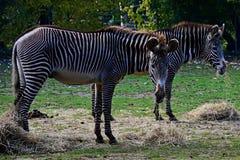 Grevy`s Zebra Grazing royalty free stock photo