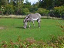 Free Grevy`s Zebra Grazing In A Field. Stock Photo - 163130760