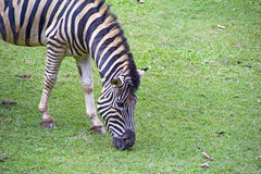 Grevy's zebra or imperial zebra Royalty Free Stock Image