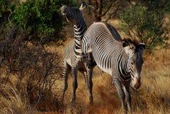 Grevy's Zebra Kicking Stock Images