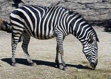 Grant`s zebra 4 Stock Photography