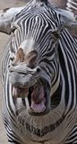 Grevy`s zebra 3 Stock Photography