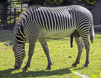 Grevy`s zebra 7 Stock Photography