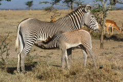 A Grevy`s zebra mare nursing her foal Stock Photos