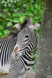 Grevy's zebra near a tree 2 Royalty Free Stock Photos