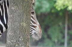 Grevy's zebra near a tree 3 Stock Photos