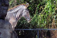 Grevy's Zebra portrait Royalty Free Stock Photos