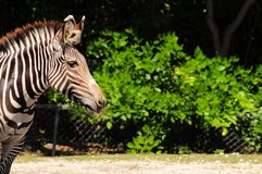 Grevy's zebra portrait Stock Image