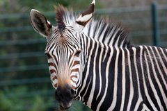 Grevy's Zebra portrait Stock Photography