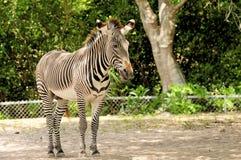 Grevy's zebra posing Stock Photo