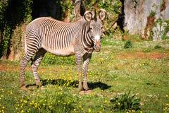 Grevy's Zebra, samburu national park, Kenya Stock Images