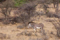 Grevy's Zebra in the  savannah surrounded by bushes and trees Royalty Free Stock Photos