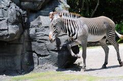 Grevy's Zebra scratching Stock Image