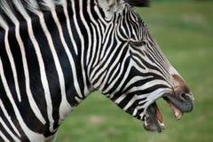 Grevy's Zebra side profile Stock Images