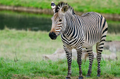 A Grevy`s Zebra. Stands in a field in front of a lake Stock Photo