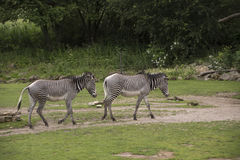 Grevy`s zebras Equus grevyi or imperial zebras Royalty Free Stock Images