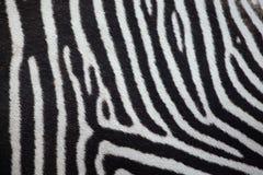 Grevy ` s zebry Equus grevyi tileable skóry bezszwowa tekstura Zdjęcie Stock
