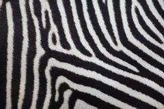 Grevy ` s zebry Equus grevyi tileable skóry bezszwowa tekstura Obraz Royalty Free